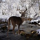 Winter Whitetail by Bill Stephens