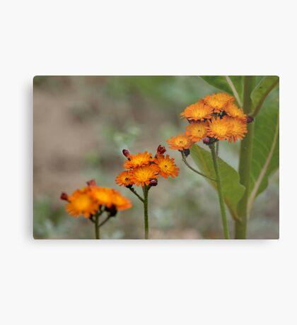 Orange Hawkweed Metal Print