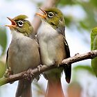 Silvereye .. Summer Fledglings by Phil Le Cren