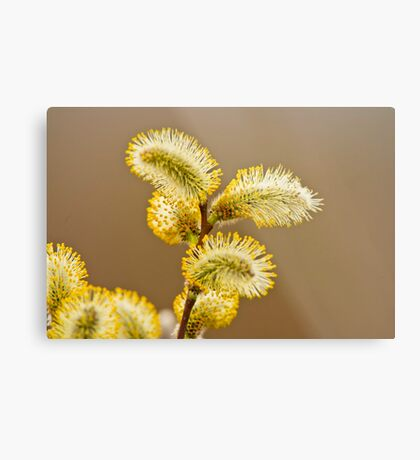 Spring Time Pussy Willow Metal Print