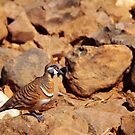 Spinifex Pigeon (Geophaps plumifera) by May-Le Ng
