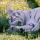 Sleeping White Tiger by Michael Cummings