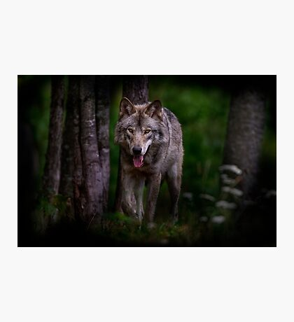 Timberwolf 1 - Photoshop Manipulation Photographic Print