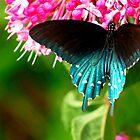 Pipevine Swallowtail (Battus philenor)  by Bron Praslicka