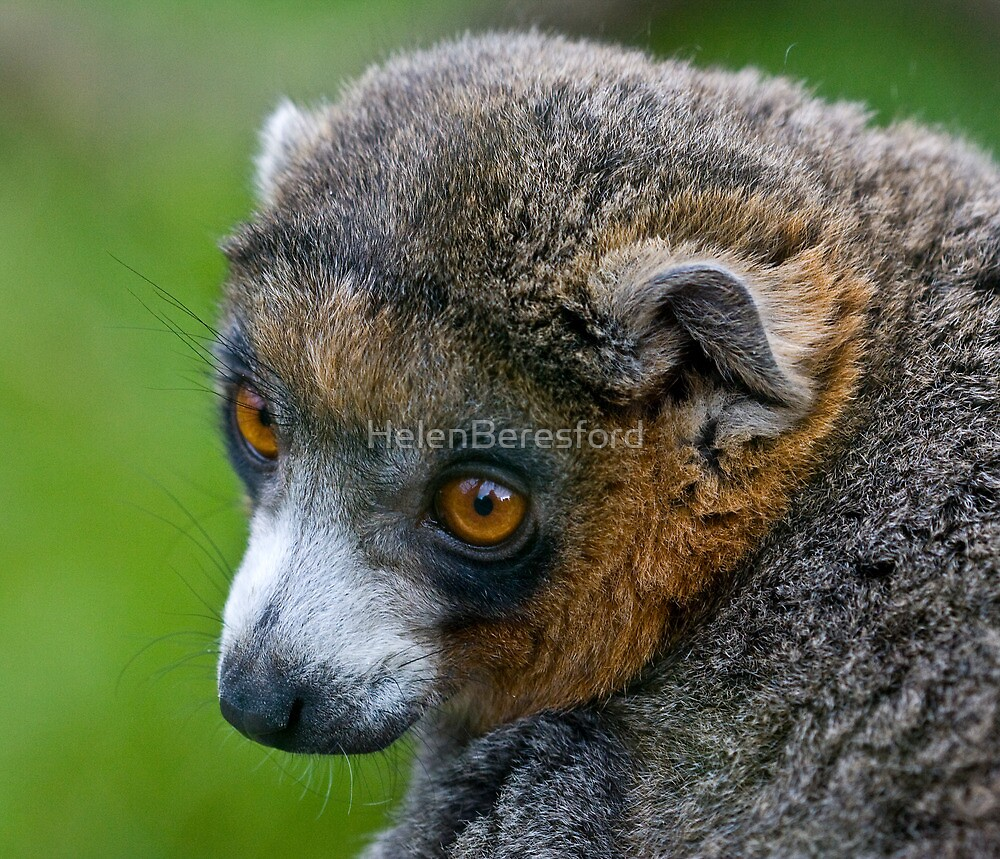 Mongoose Lemur by HelenBeresford