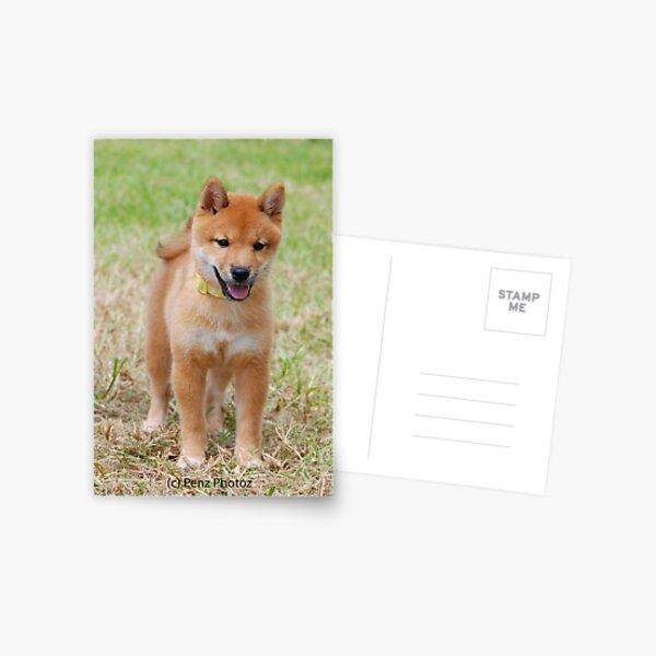 Shiba Inu baby Postcard