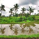 Reflections in the ricefield by Adri  Padmos