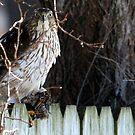 Menacing Cooper's Hawk with House Sparrow by Erik Anderson