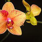 Phalaenopsis Flowers by Jason Pepe