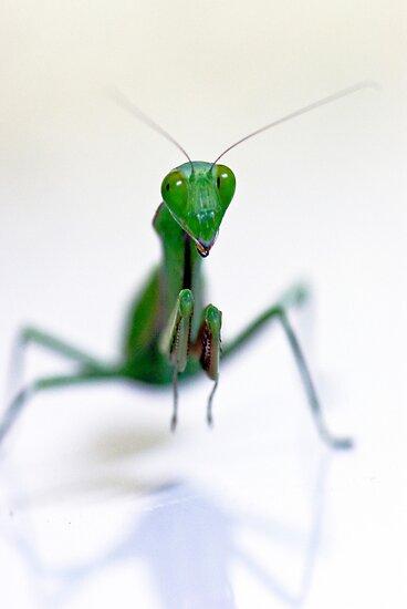 Praying Mantis  by Jenny Dean