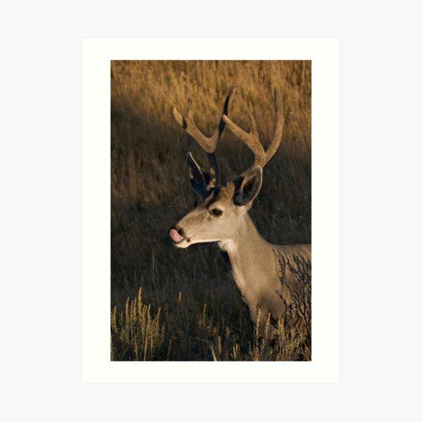 Mule deer - Yellowstone National Park Art Print