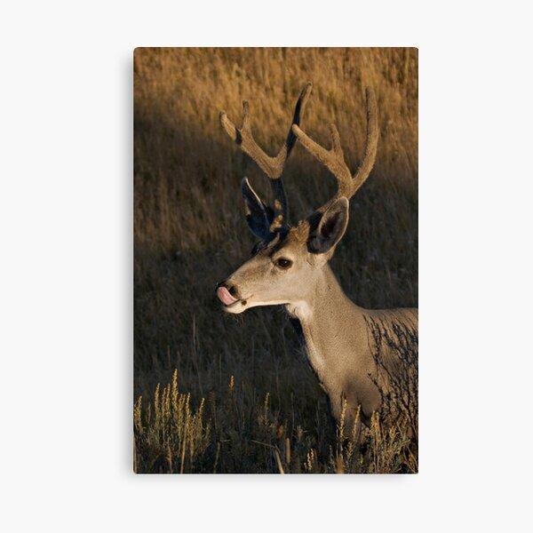 Mule deer - Yellowstone National Park Canvas Print
