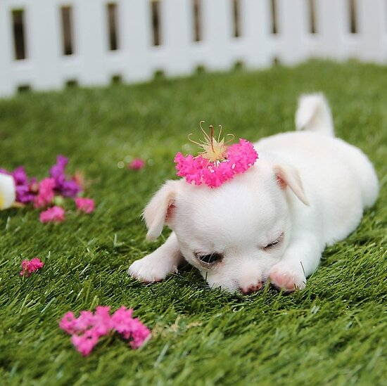 Chihuahua Puppy with Pink Bow by Edmond  Hogge