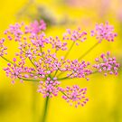 Pink Pimpinella on yellow by Zoe Power