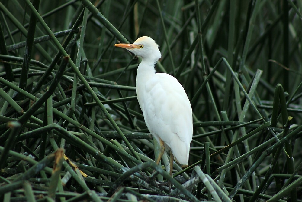Young Egret in Reeds by rhamm
