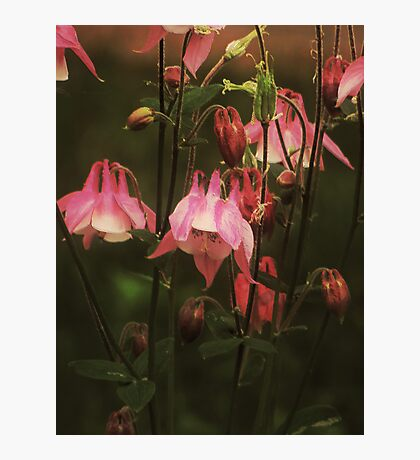 Sweet Columbine Photographic Print