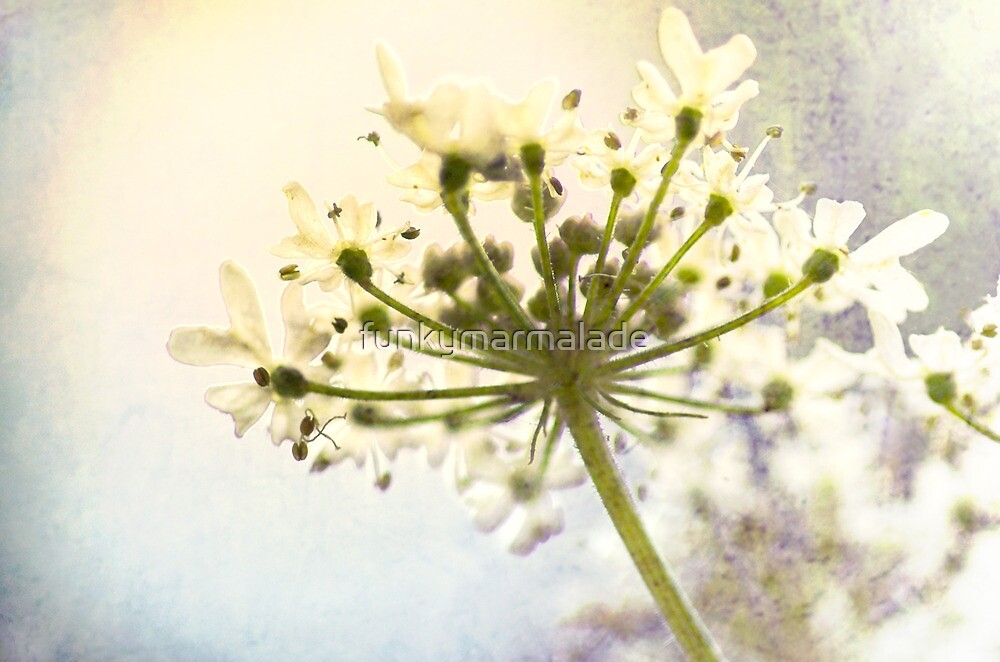 *Queen Anne's Lace* by funkymarmalade