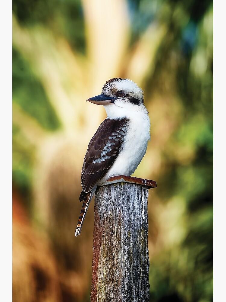 Young Kookaburra by fardad