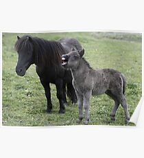 Shetland pony Foal and mare Poster