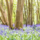 Bluebell magic by Zoe Power
