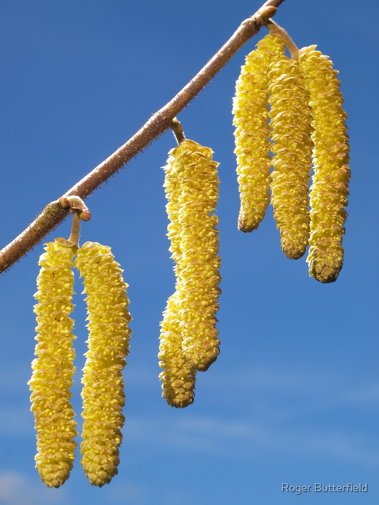 Hazel Catkins by Roger Butterfield