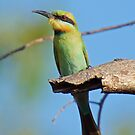 NT ~ BEE-EATER ~ Rainbow Bee-eater by David Irwin by tasmanianartist