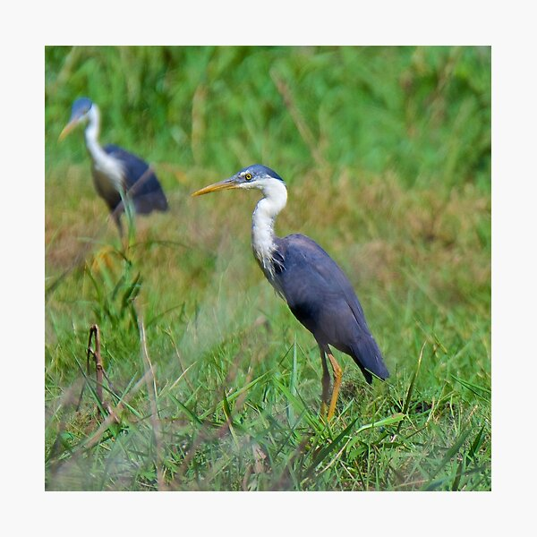NT ~ WADER ~ Pied Heron by David Irwin ~ WO Photographic Print
