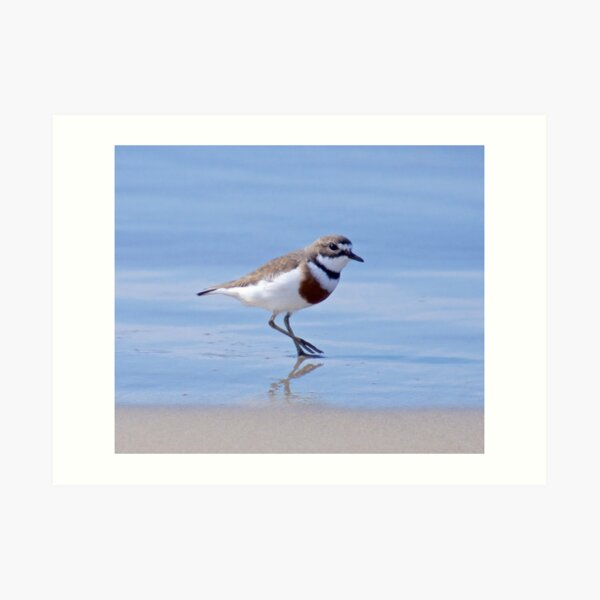 SHOREBIRD ~ Double-banded Plover XZdPKaRq by David Irwin Art Print