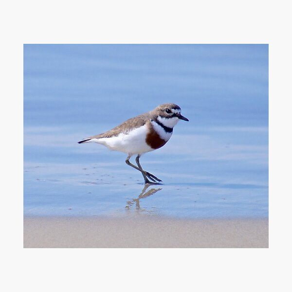 SHOREBIRD ~ Double-banded Plover by David Irwin Photographic Print