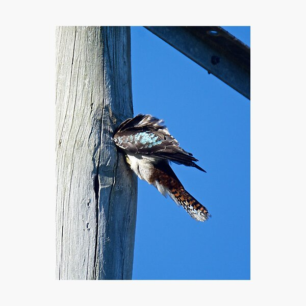 KINGFISHER ~ Kookaburra ANSD94CZ by David Irwin Photographic Print
