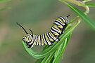 Monarch Caterpillar by Gabrielle  Lees