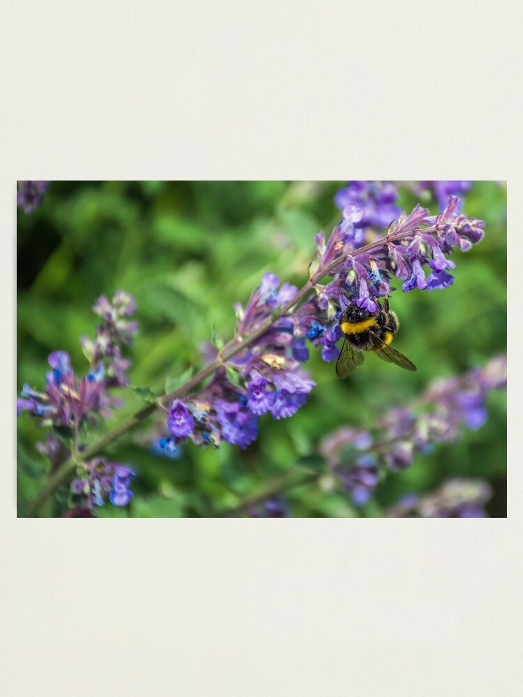 Alternate view of Bee on purple flowers Photographic Print
