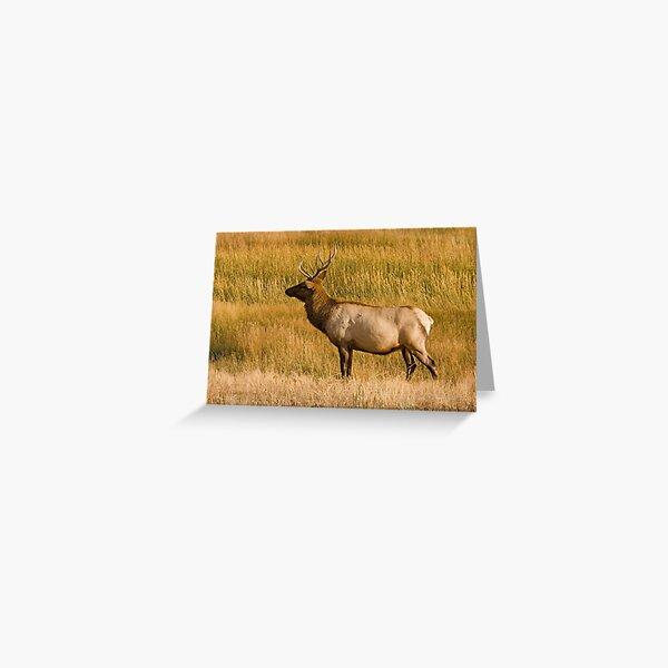 Elk bull - Yellowstone National Park Greeting Card