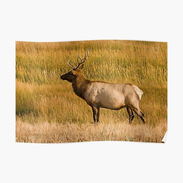 Elk bull - Yellowstone National Park Poster