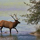 Magnificent Stag in Jasper National Park by Teresa Zieba