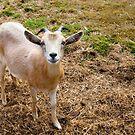 Goat by Jaime Pharr