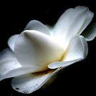 Magnolia by loiteke