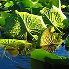 lily vein by Shannon Kringen