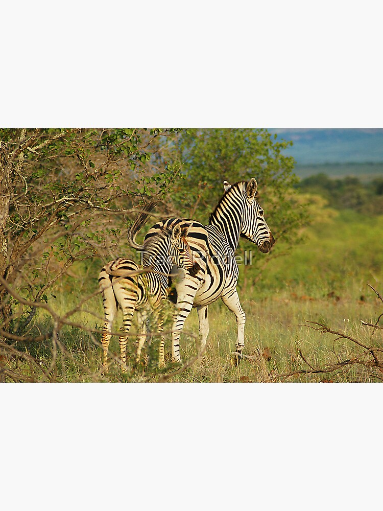Mom and Baby Zebra by taos