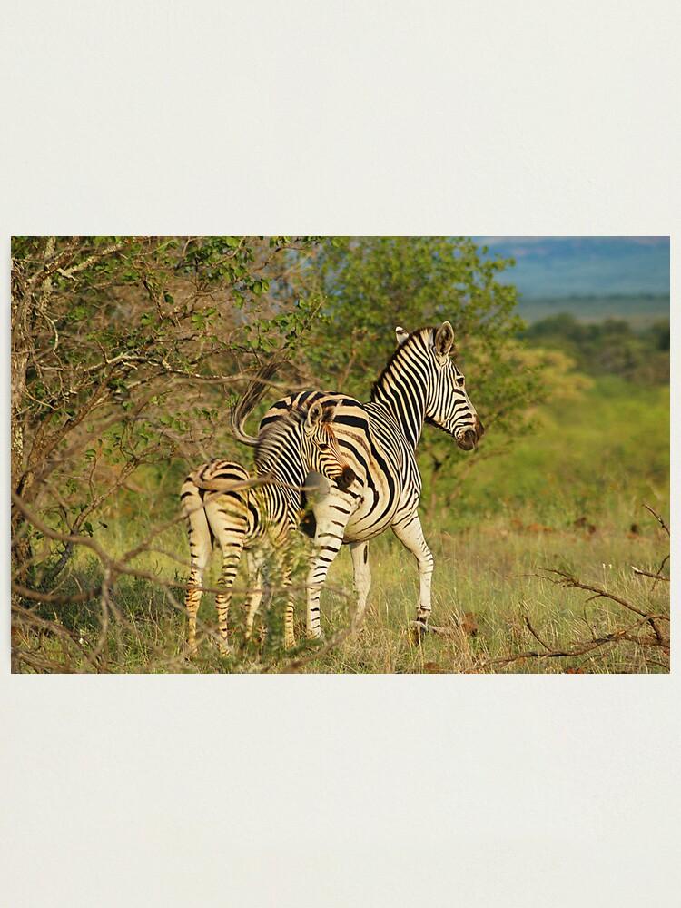 Alternate view of Mom and Baby Zebra Photographic Print
