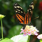 Golden Helicon Butterfly by Laurel Talabere
