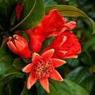 Pomegranate blossoms in four stages by Celeste Mookherjee