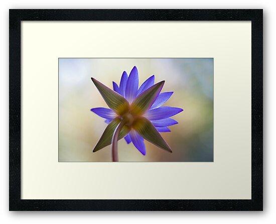 Shining Thru Two - purple waterlilly  by Jenny Dean