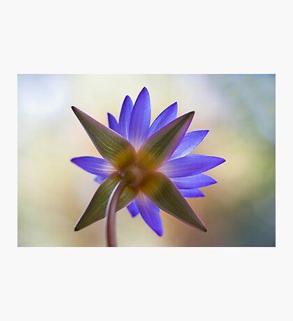 Shining Thru Two - purple waterlilly  Photographic Print