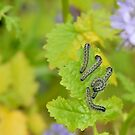 Caterpillars by relayer51
