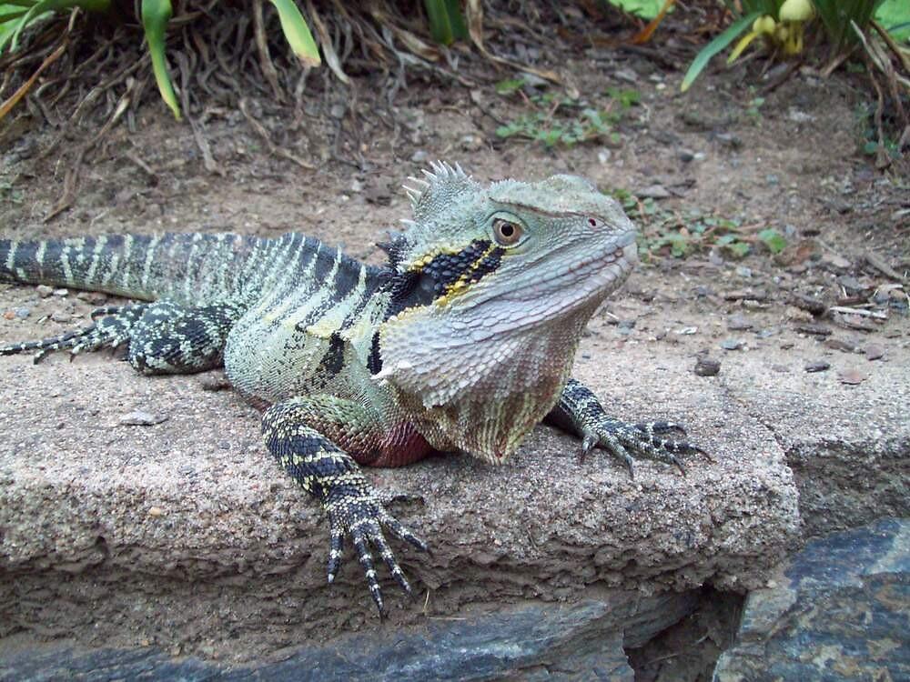 """Australian Water Dragon: """"Australian Eastern Water Dragon"""