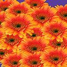 All These Gorgeous Gerberas by hurmerinta