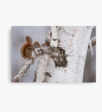 Red Squirrel on Birch Tree Canvas Print