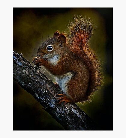 Red Squirrel - Photoshop Manipulation Photographic Print