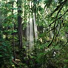Sunbeams in the Rainforest by Amy Hale